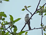 Chipping Sparrow Solo