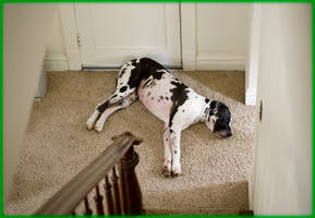 Great Dane ready for passers-by by ByLagarto