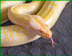 Viola the Granite Burmese Python - wallpaper