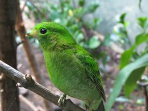 Female Lesser Green Broadbill LPZ 3