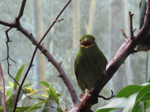Female Lesser Green Broadbill LPZ 4
