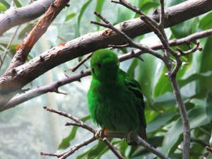 Male Lesser Green Broadbill LPZ