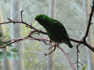 Male Lesser Green Broadbill LPZ 2
