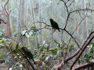 Male Lesser Green Broadbill LPZ 3