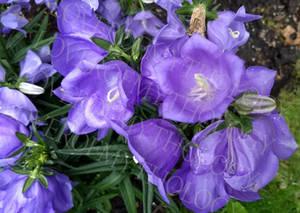 Giant purple star flowers 1