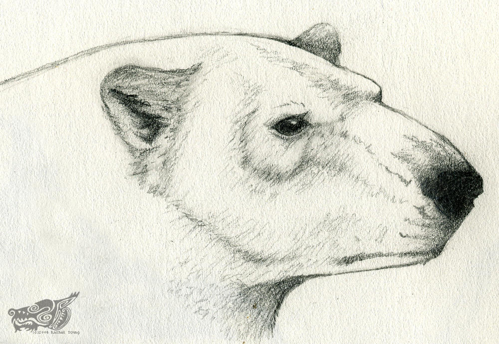 Polar Bear Sketch by rgyoung on DeviantArt
