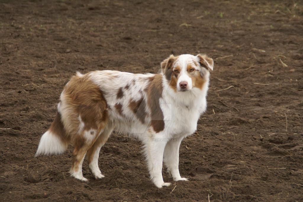 Australian Shepherd Dog by Hetti-Photograph