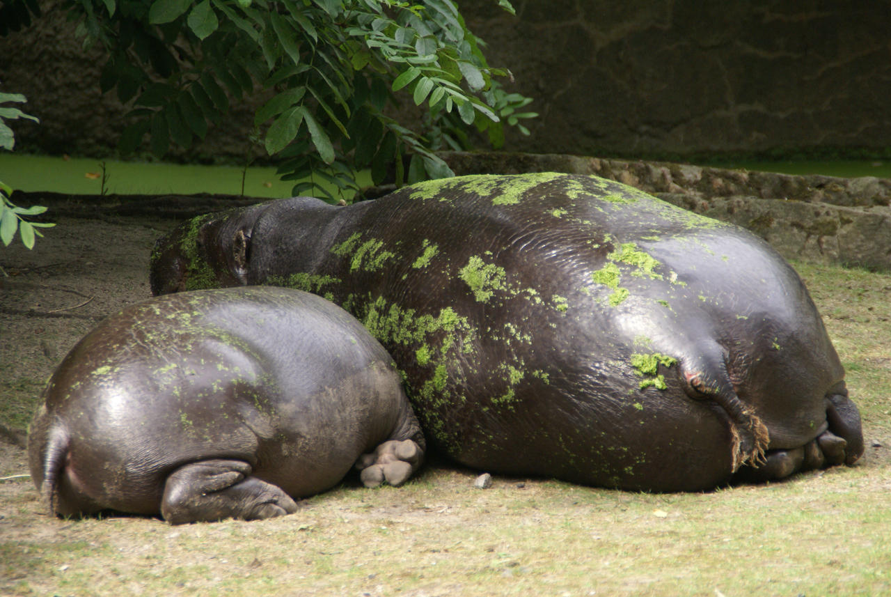 The Hippo family by Hetti-Photograph