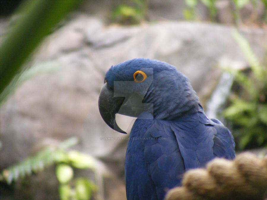 Blue Macaw by Lenscoveredeye