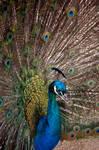 Horny peacock I