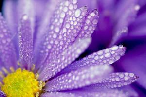 Purple Rain by Svennovitch
