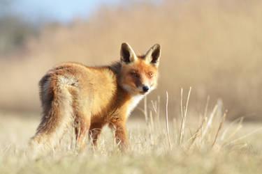 Fox VI