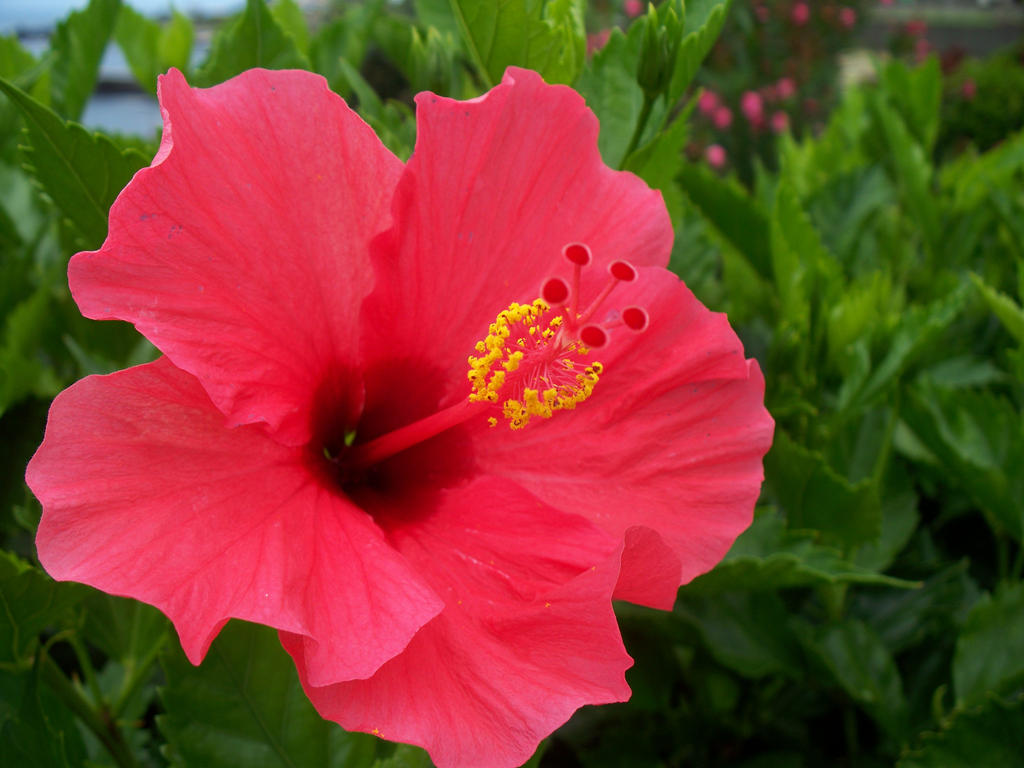 Hibiscus by Fpf5