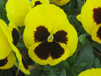 Yellow Pansy by ImagersStock