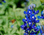 Blue Bonnet Bee