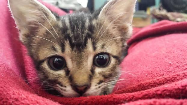 green kitten - pounce