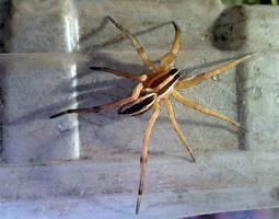 spider - Achilles little friend by yabbles