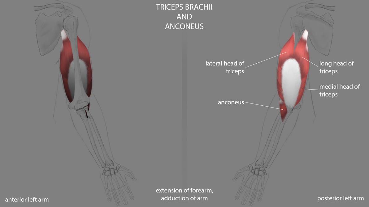 Arm - Triceps Brachii and Anconeus by rkoshi on DeviantArt