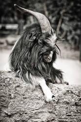 Goat by nicky