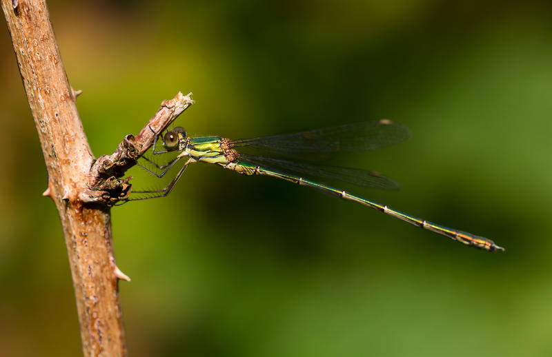 Emerald willow damselfly by Hansve