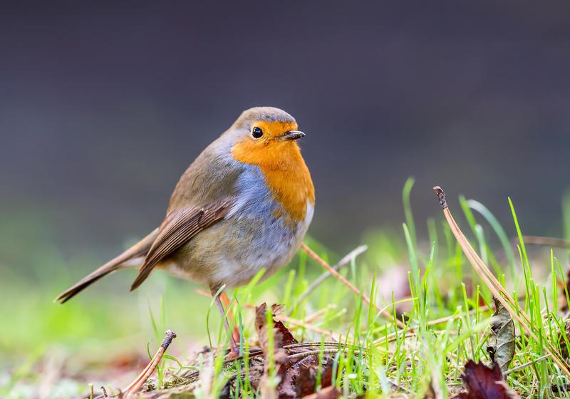 Robin by Hansve