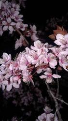 Midnight Cherry Blossoms