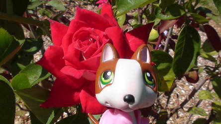 Sparky's Rose
