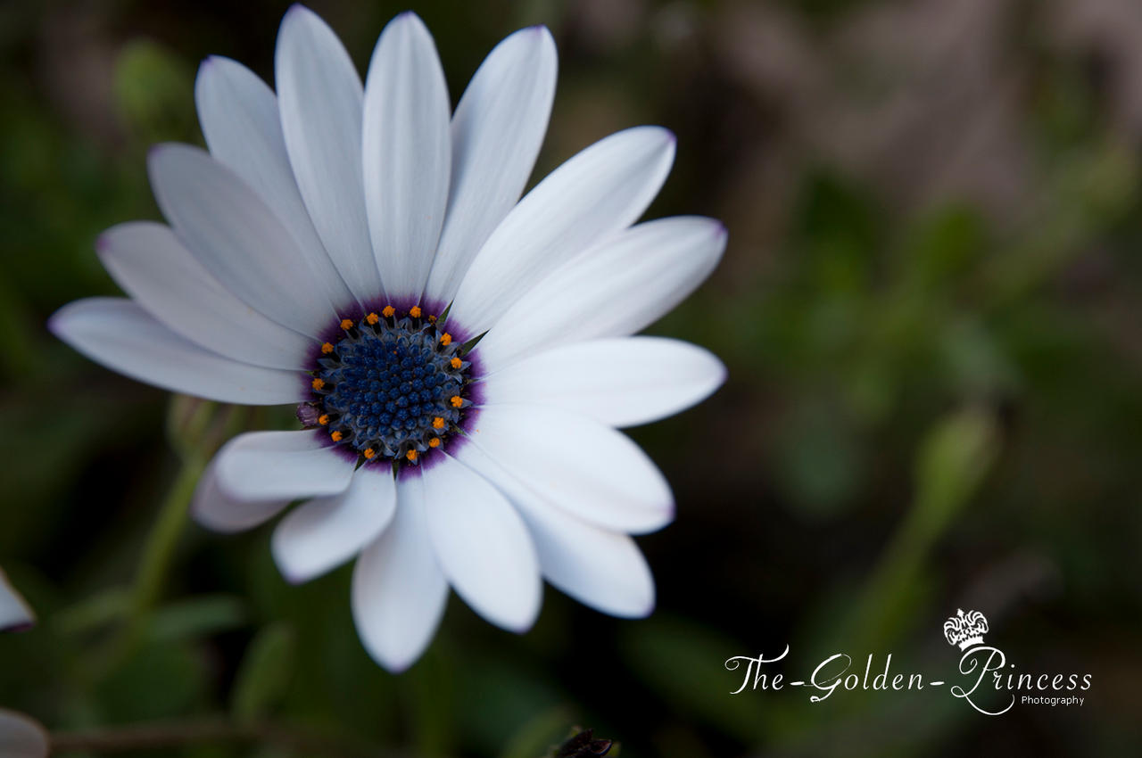 Daisy Flower 2 .. by The-Golden-Princess