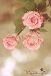 Rose contest ..