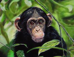 Chimpanzee by Sarahharas07