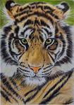 Sumatran Tiger coloured pencils by Sarahharas07