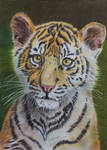 Sumatran tiger cub, coloured pencil