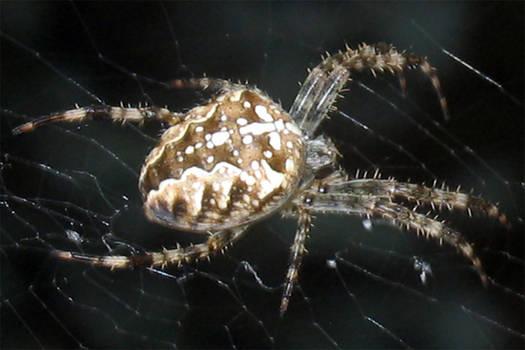 Cross Spider I