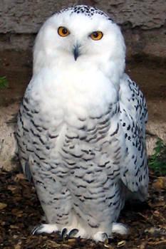 Snow Owl (Nyctea scandiaca)
