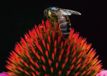 Bee on a flower 2 by An-Drake