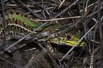 Stealth lizard
