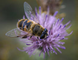 Hoverfly by An-Drake