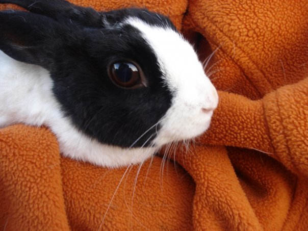 Dutch Dwarf Rabbit by jenn182