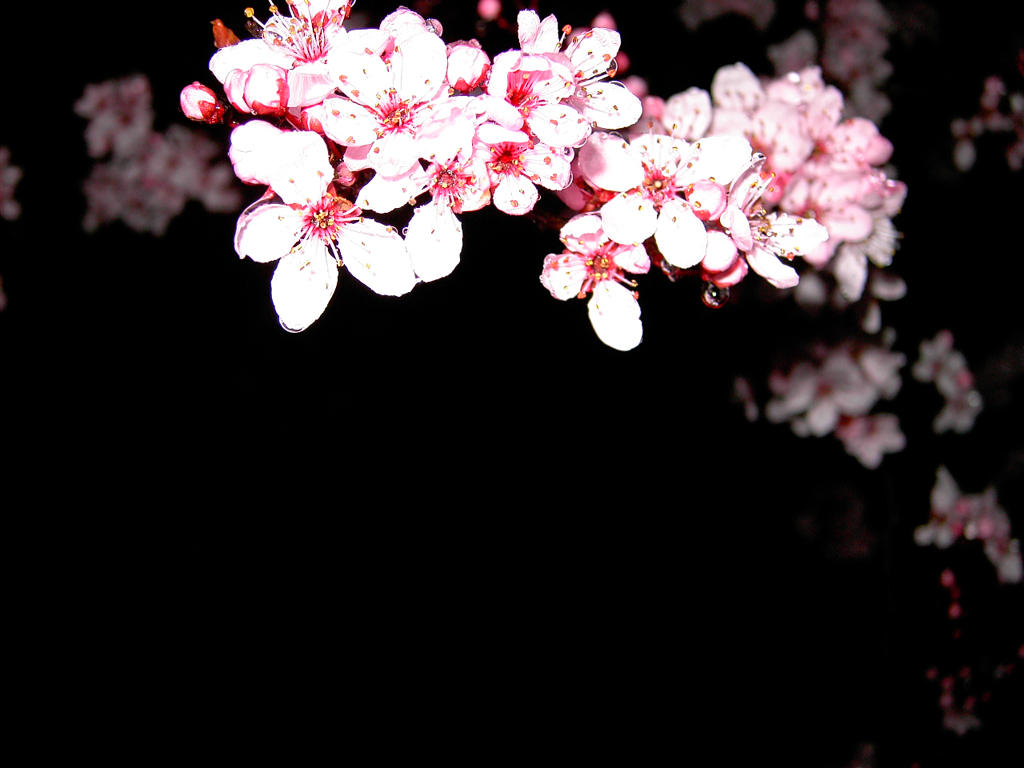 Cherry Blossom Background Wallpaper