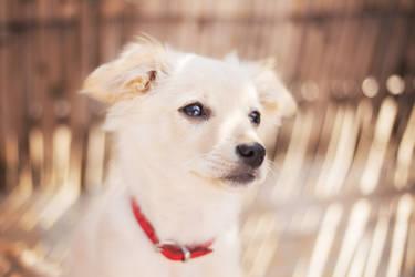 white puppy and sun by becekubiak