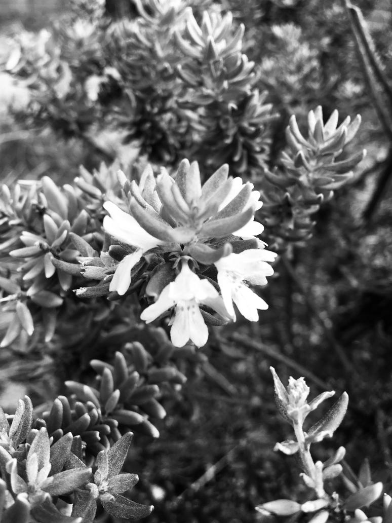 Flowers no2 black and white photo 962018 by saraeustace91 on flowers no2 black and white photo 962018 by saraeustace91 mightylinksfo