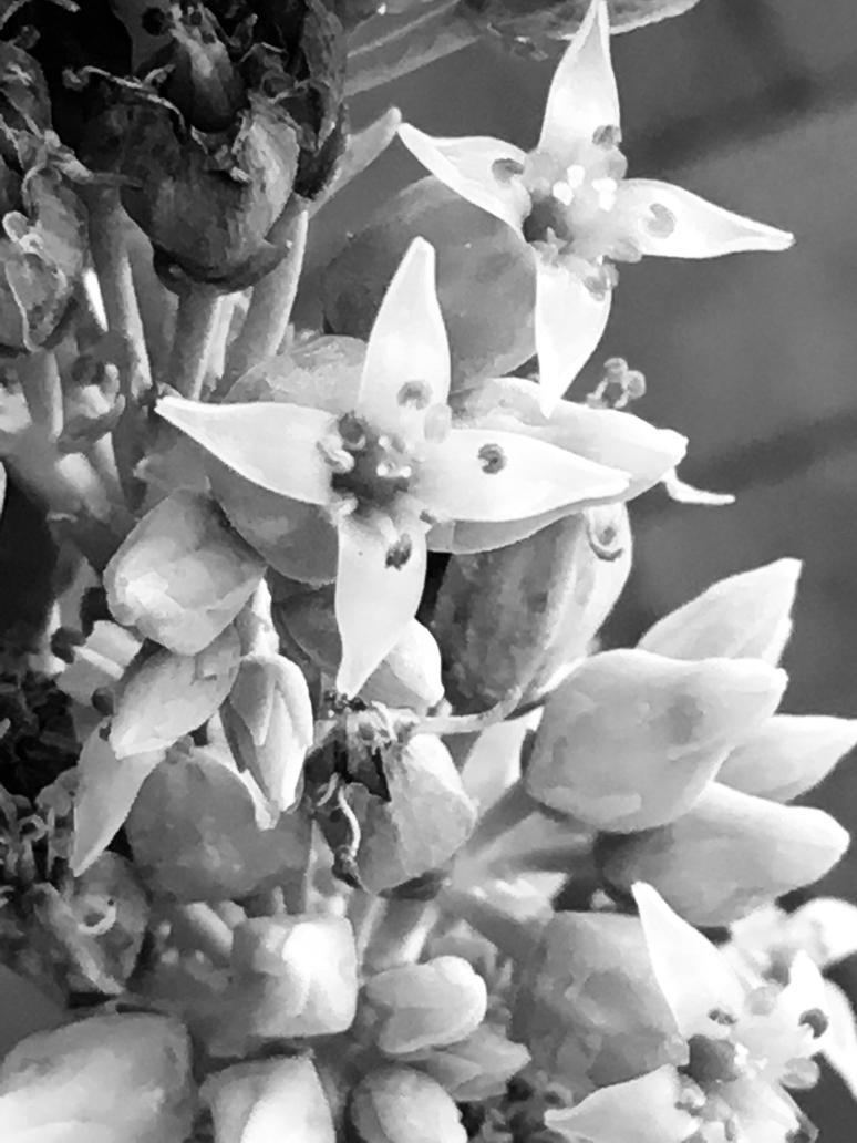 Succulent Flowers Black And White Photo 1672018 By Saraeustace91