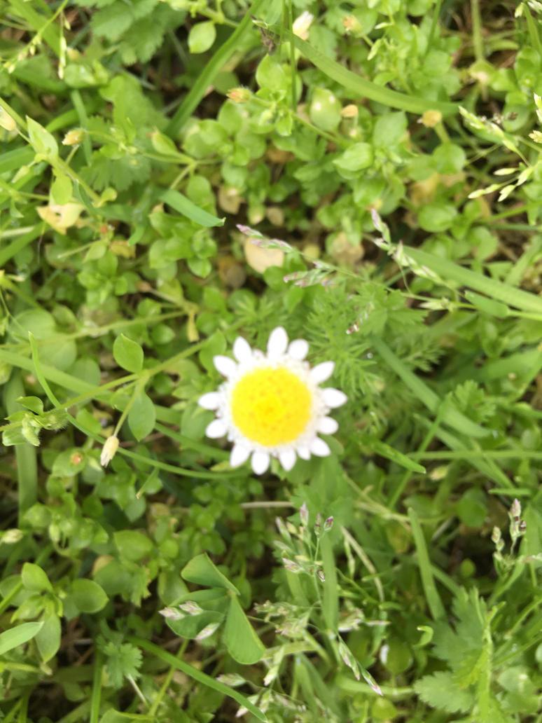 Daisy flower 16/8/2018 by Saraeustace91