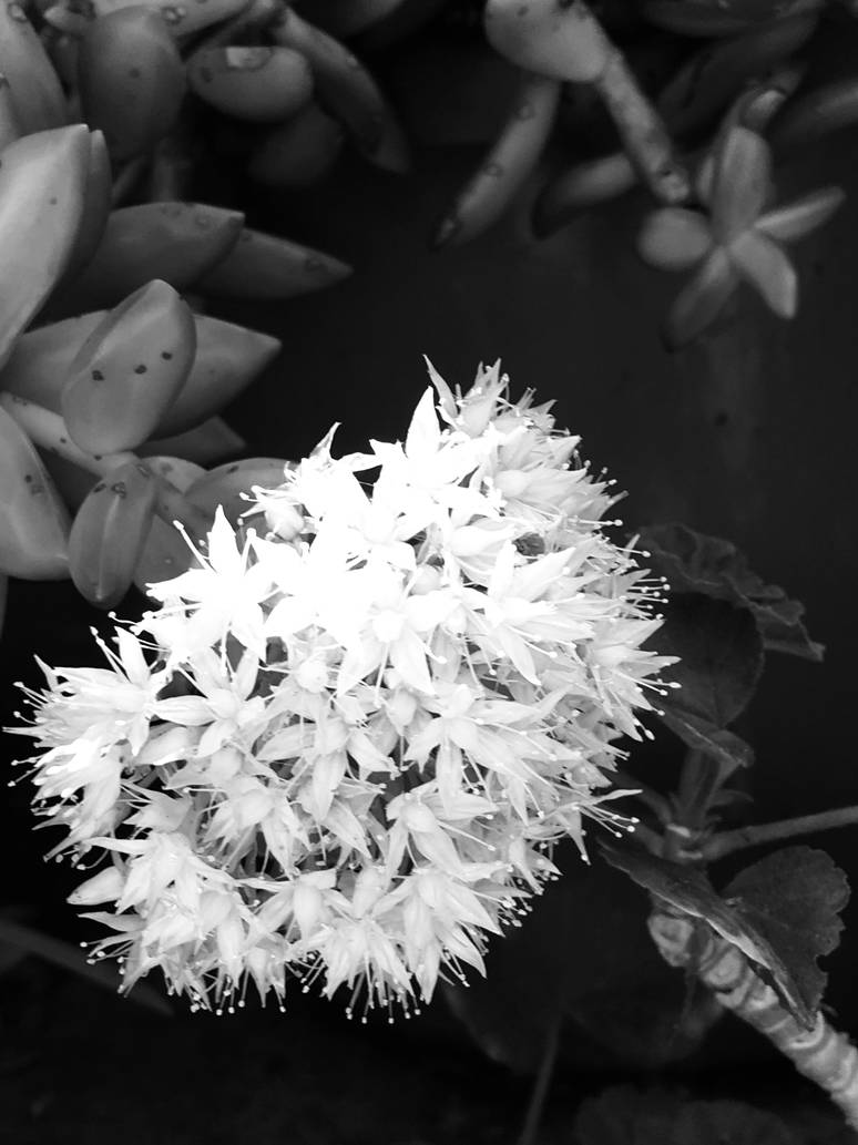 White flowers no2 black and white photo by saraeustace91