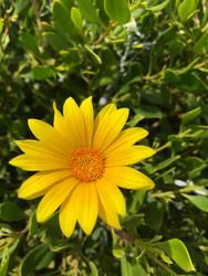 Yellow daisy 18/03/2019 by Saraeustace91
