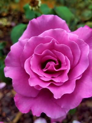 Pink Rose Flower no3 15/3/2020 by Saraeustace91