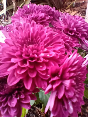 Chrysanthemum flowers 22/4/2020 by Saraeustace91