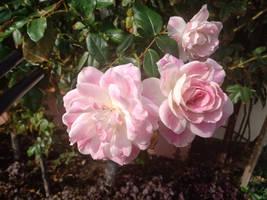 Pink roses no2 17/5/2020
