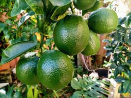 Green Lemons 22/5/2020