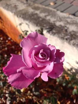 Pink Rose no2 22/5/2020